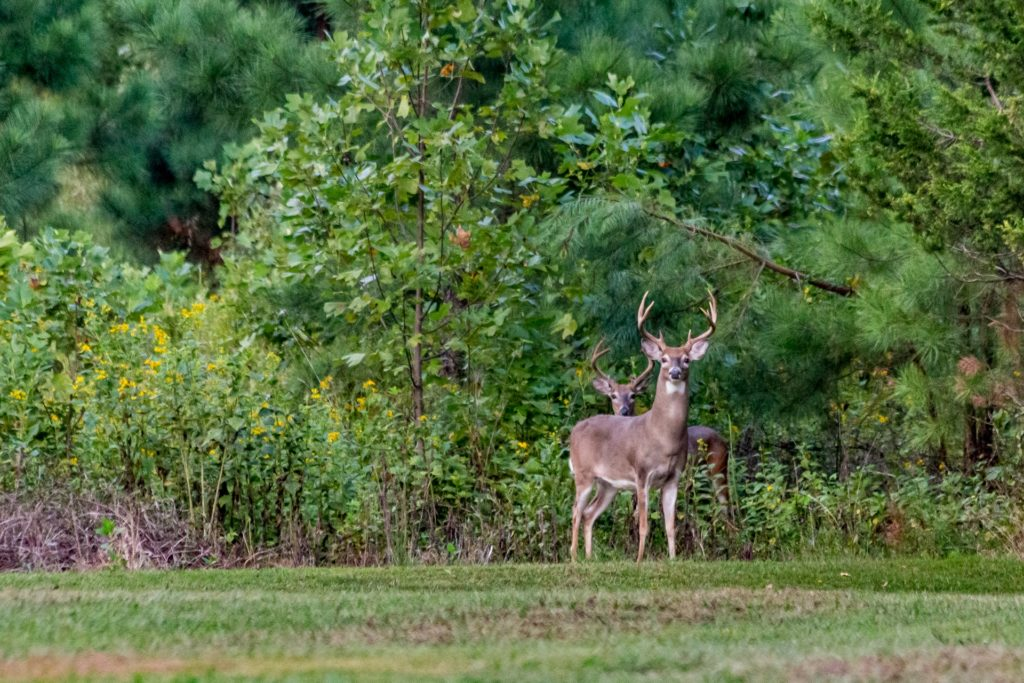 This is a photo of wild deer. Ticks lurk in countryside vegetation and attach to passing deer to feed on. Rising deer numbers are linked to the increase in Lyme disease cases.
