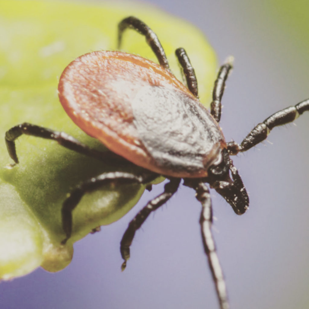 This is a photo of a Ixodes ricinus tick which poses the most threat to people.